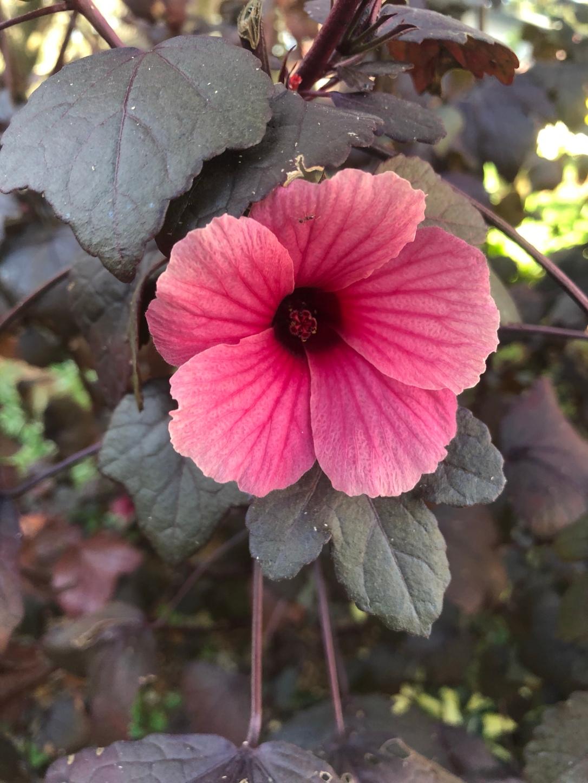 Cranberry hibiscus