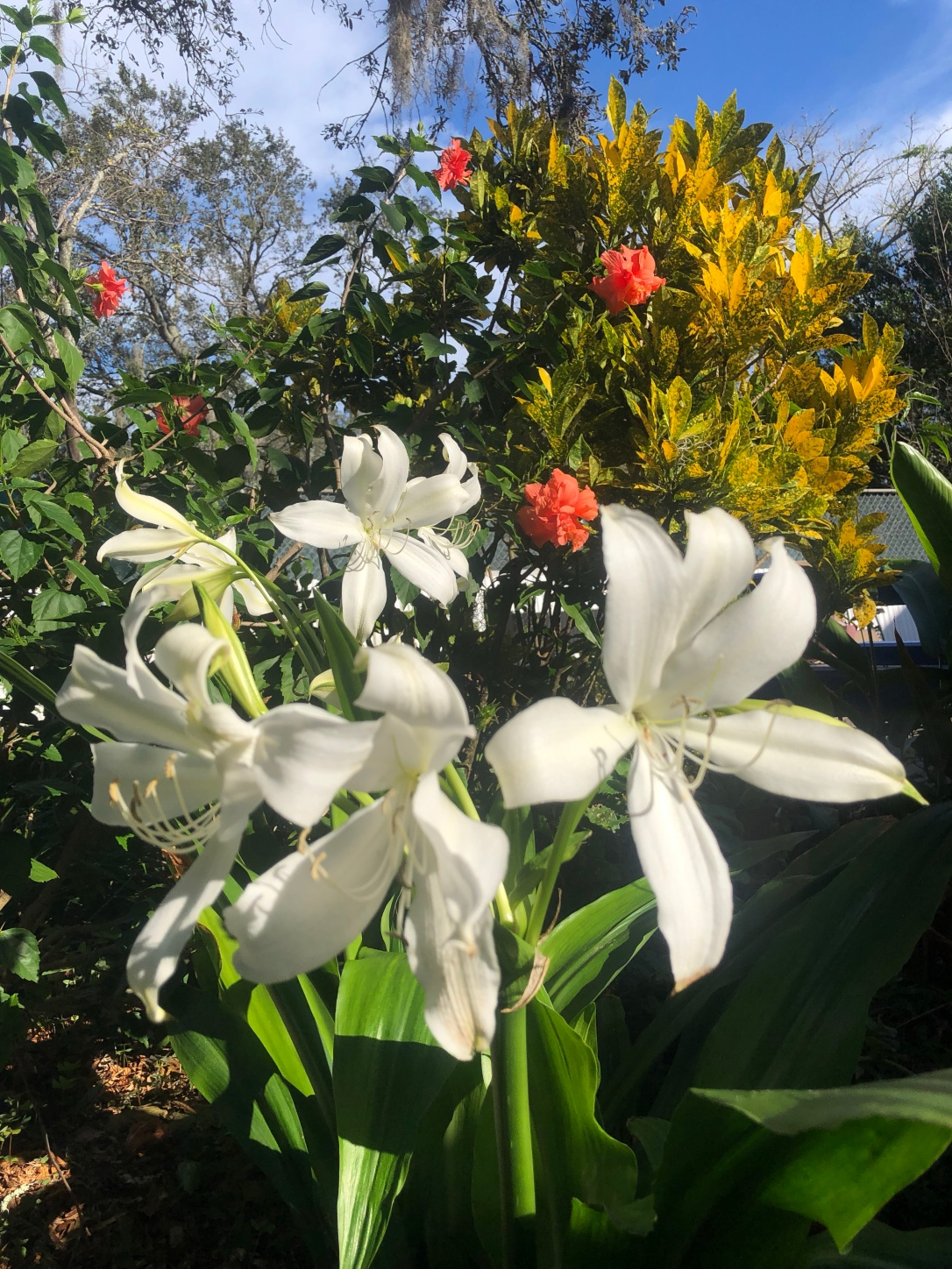 Peace lily and hibiscus tree